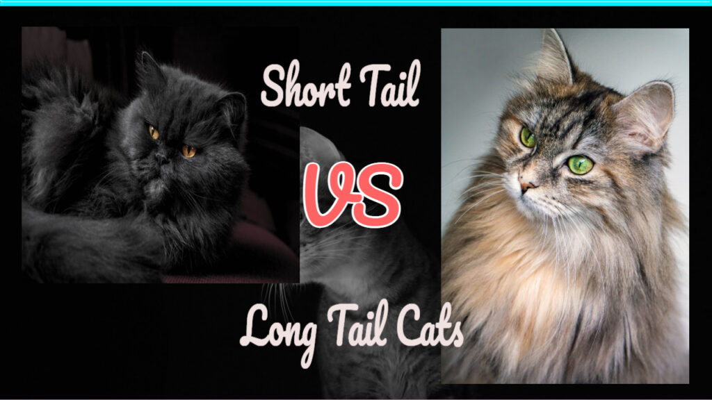 long tail versus short tail cats